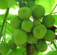 jatropa oil, jatropha biodiesel