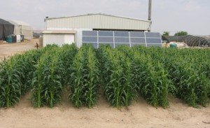 Engineered oasis for solar desalination and arid land agriculture